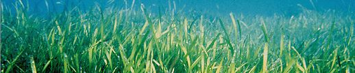 Townsville seagrass